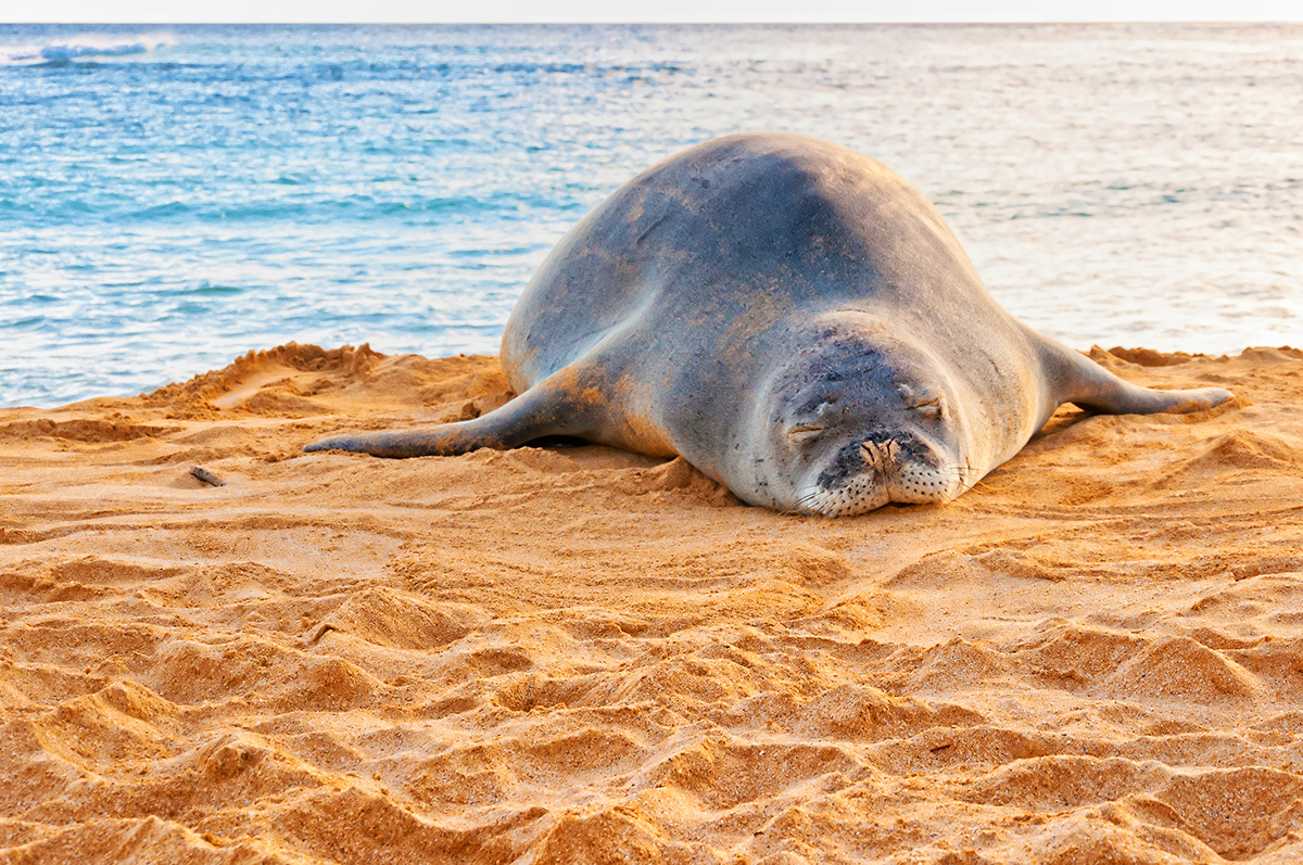 An endangered Hawaiian monk seal sunbathing