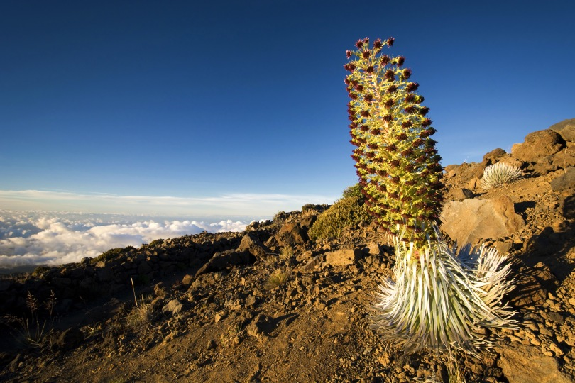 A silversword plant flowering on the slopes of Mount Haleakala