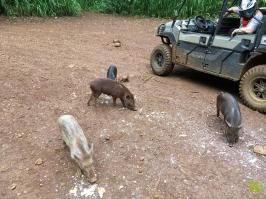 Kipu_Ranch_Pig01