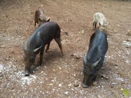 Kipu_Ranch_Pig02