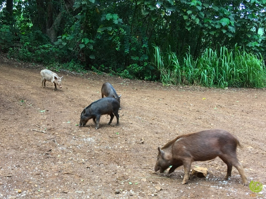 Kipu_Ranch_Pig03